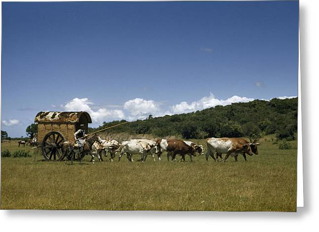 People, Oxen, And Horses Reenact Greeting Card
