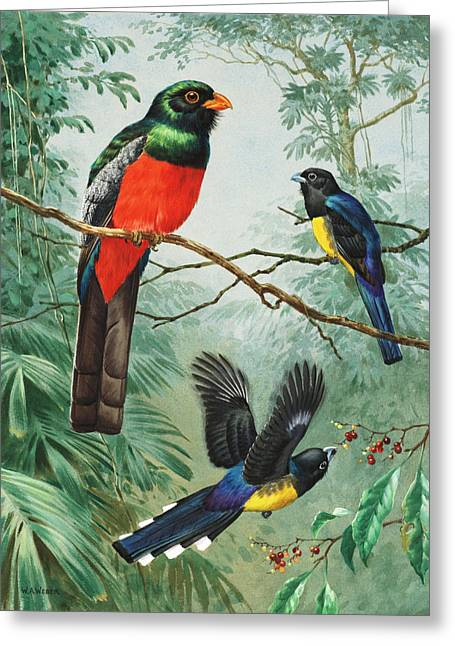 Perched And Flying Trogons Are Seen Greeting Card by Walter A. Weber