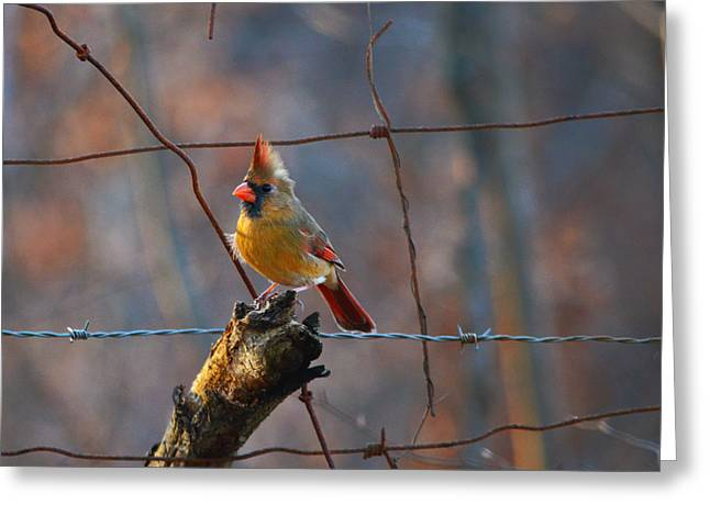 Greeting Card featuring the photograph Perched Cardinal by Brian Stevens