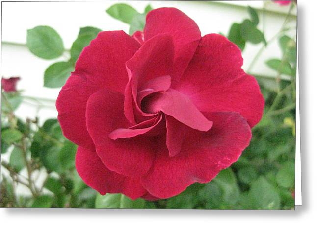 Perfect Red Rose Greeting Card by Judy Via-Wolff