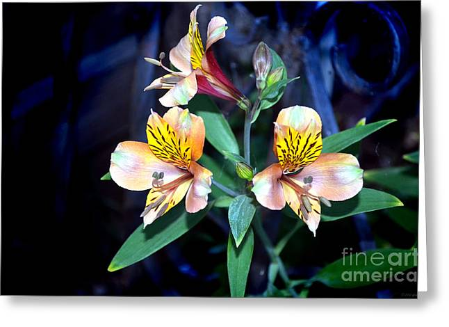 Peruvian Lily In My Garden Greeting Card