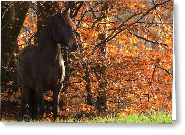 Peruvian Stallion Greeting Card by Michael Mogensen