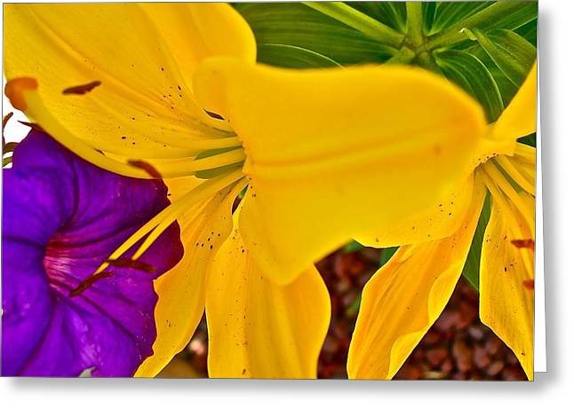 Pet Lily Greeting Card by Randy Rosenberger