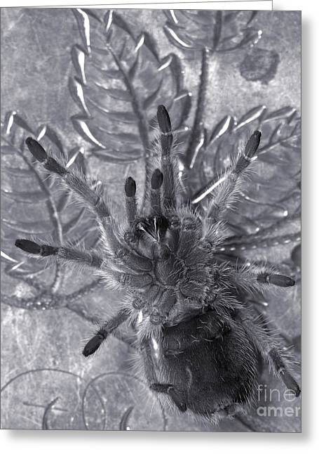 Pet Rose Hair Tarantula On Antique Silverplate Greeting Card by Janeen Wassink Searles
