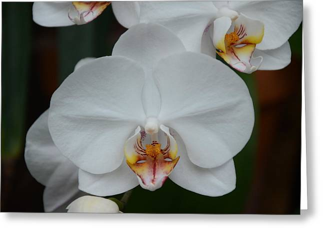 Phalaenopsis Orchid Greeting Card by Michael Carrothers