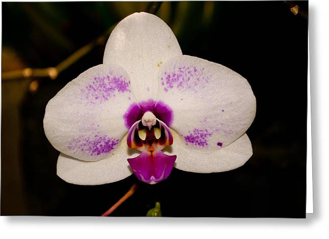 Greeting Card featuring the photograph Phalaenopsis White Orchid by Tikvah's Hope