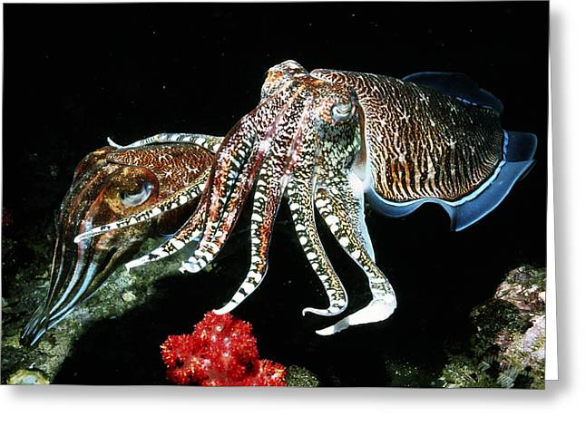 Pharaoh Cuttlefish Greeting Card by Georgette Douwma