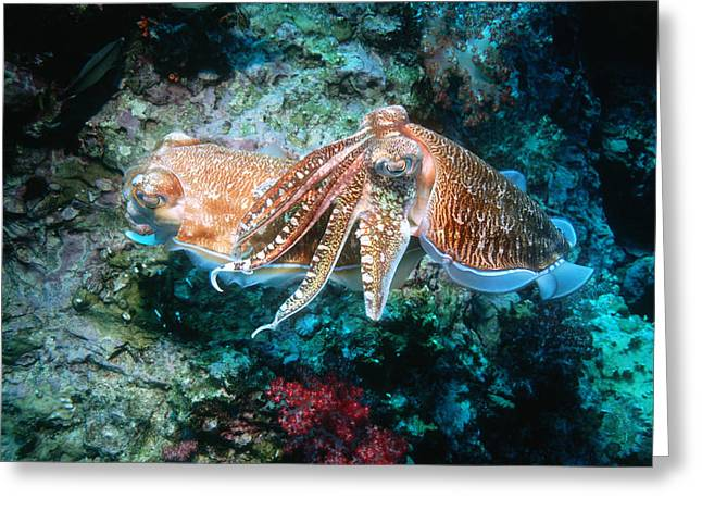Pharaoh Cuttlefish Reproduction Greeting Card by Georgette Douwma