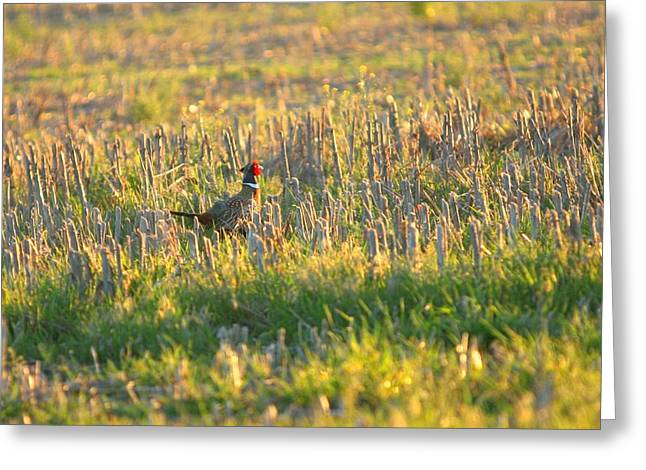 Greeting Card featuring the photograph Pheasant Into The Light by Shirley Heier