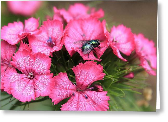 Phlox And Fly Greeting Card by Scott Hovind