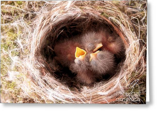Phoebe Babies In Nest Greeting Card by Angie Rea