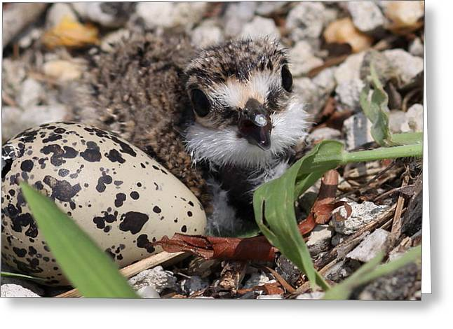 Killdeer Baby - Photo 25 Greeting Card by Travis Truelove