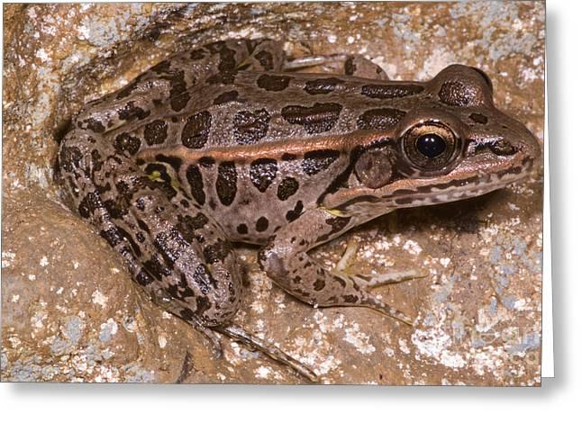 Pickerel Frog Greeting Card by Dante Fenolio