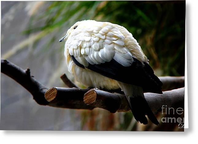 Greeting Card featuring the photograph Pied Imperial Pigeon by Davandra Cribbie