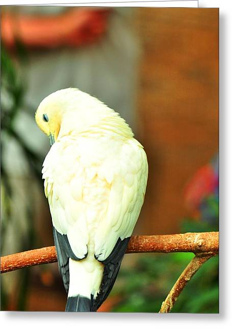 Greeting Card featuring the photograph Pied Imperial Pigeon by Puzzles Shum
