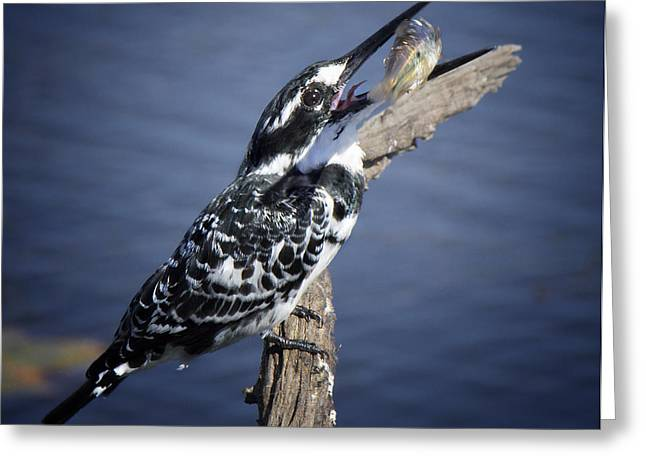 Pied Kingfisher Eating Greeting Card by Ronel Broderick