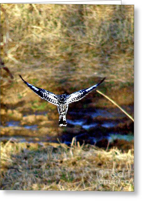 Pied Kingfisher In Flight Greeting Card by Louise Peardon