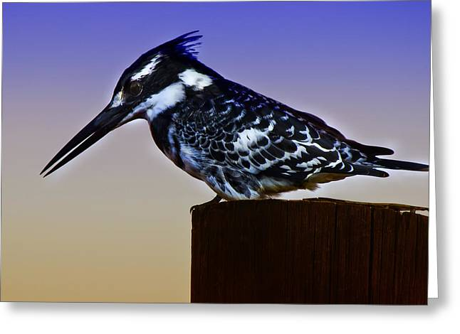 Pied Kingfisher Greeting Card by Ronel Broderick