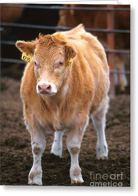 Piedmontese-hereford Crossbred Calf Greeting Card by Science Source