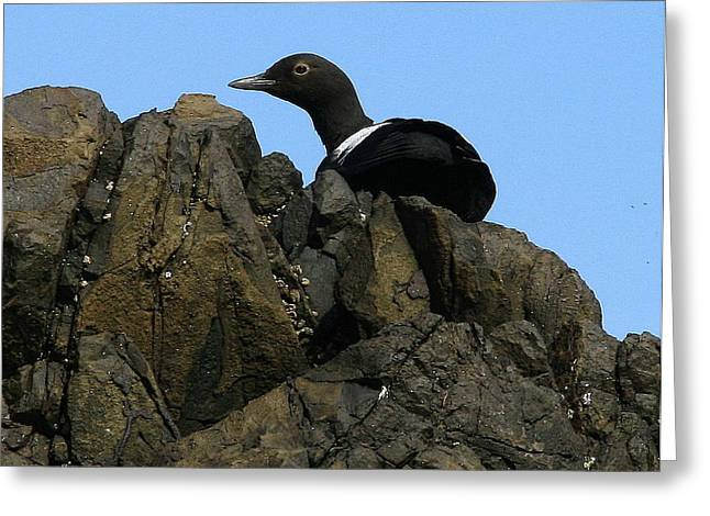 Pigeon Guillemot At Silver Point Oregon Greeting Card