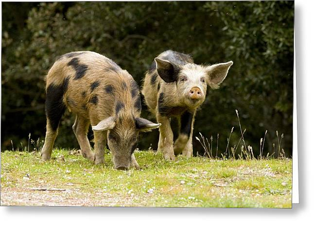 Piglets Foraging In Woodland Greeting Card by Bob Gibbons