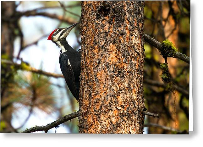 Pileated Woodpecker - Dryocopus Pileatus Greeting Card by Merle Ann Loman
