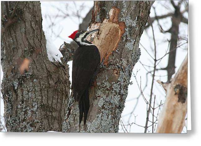 Pileated Woodpecker Greeting Card by Carolyn Reinhart