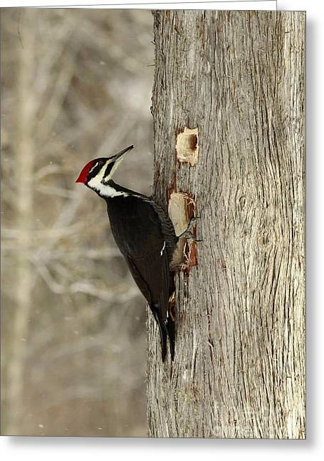 Pileated Woodpecker Excavating A Cedar Tree Greeting Card by Inspired Nature Photography Fine Art Photography