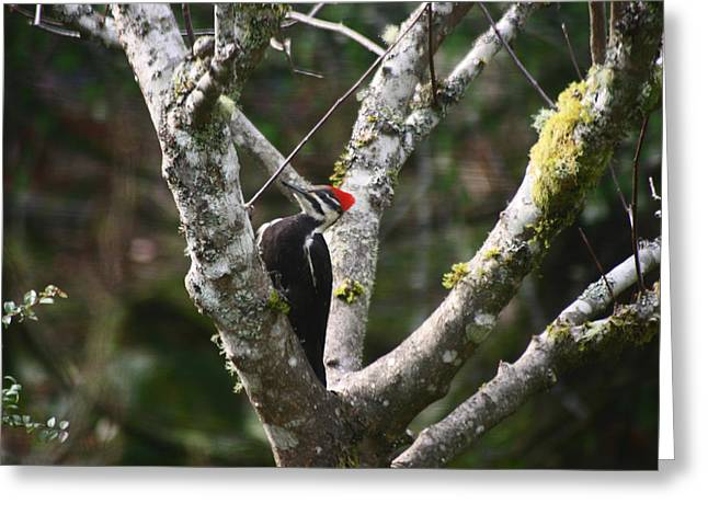Greeting Card featuring the photograph Pileated Woodpecker In Cherry Tree by Kym Backland