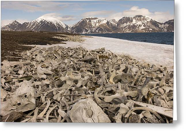 Piles Of Animal Bones Line The Icy Greeting Card by Norbert Rosing