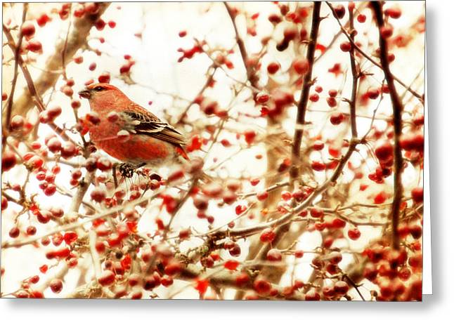 Pine Grosbeak Greeting Card by HD Connelly