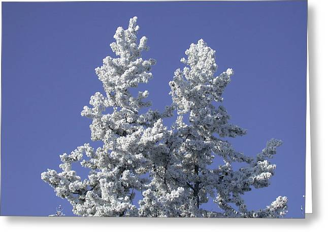 Pine Hoar Frost Greeting Card