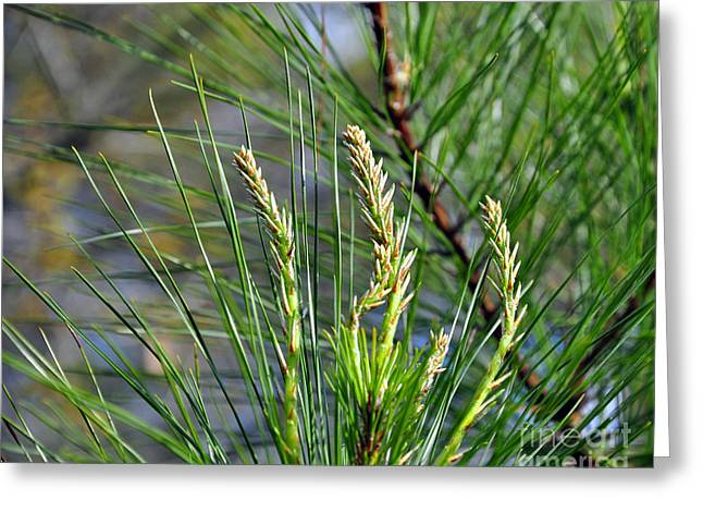 Pine Needles Greeting Card by Al Powell Photography USA