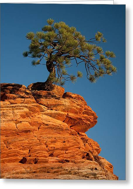 Pine On Rock Greeting Card by Ralf Kaiser