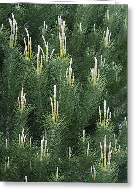 Pine Spring Growth Santa Cruz California Greeting Card by Sebastian Kennerknecht