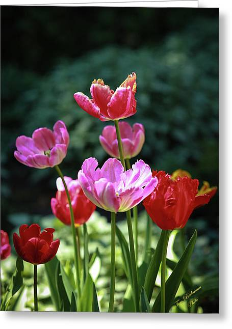 Pink And Red Tulips Greeting Card by Tom Buchanan