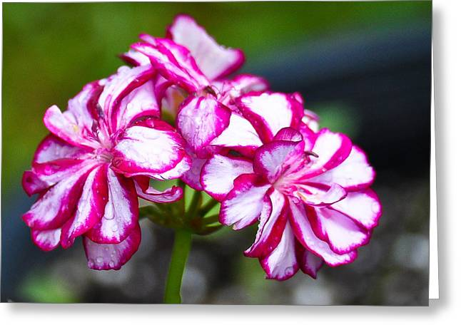 Greeting Card featuring the photograph Pink And White Geraniums by Ronda Broatch
