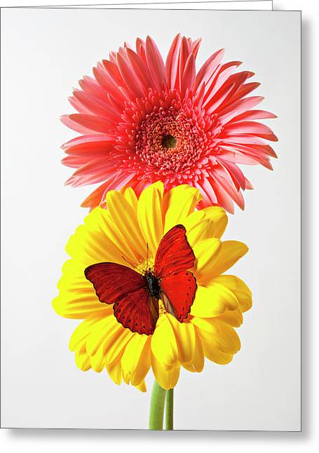 Pink And Yellow Mums Greeting Card by Garry Gay