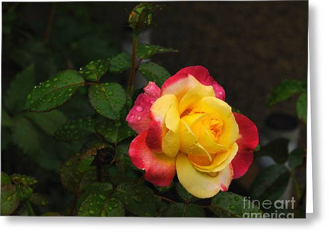 Pink And Yellow Rose 5 Greeting Card