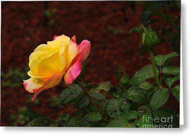 Pink And Yellow Rose 6 Greeting Card
