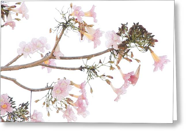 Pink Blossoms In Panama Greeting Card