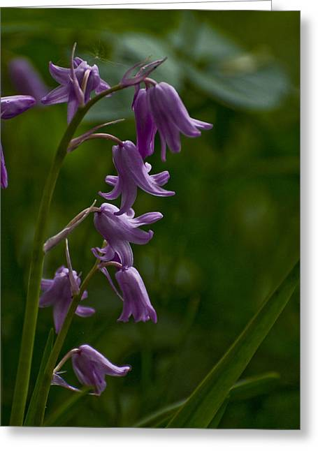 Greeting Card featuring the photograph Pink Bluebell by Rob Hemphill