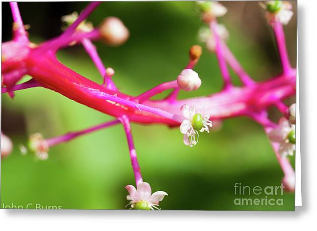 Pink Buds Greeting Card