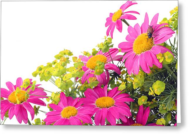 Greeting Card featuring the photograph Pink Camomiles And Bug Card by Aleksandr Volkov