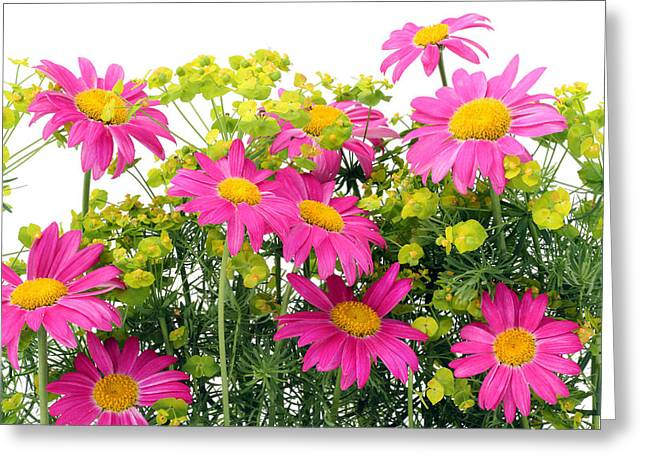 Greeting Card featuring the photograph Pink Camomiles Background by Aleksandr Volkov