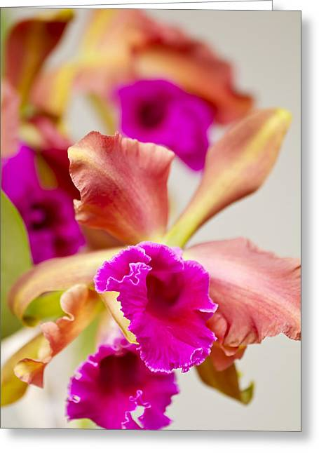 Pink Cattalaya Orchid Greeting Card by Ron Dahlquist