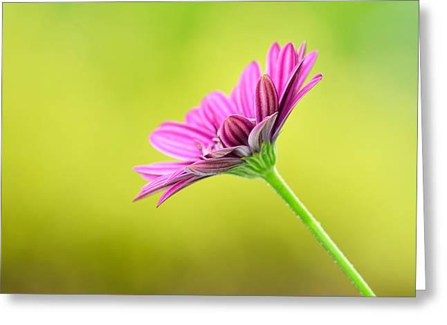 Pink Chrysanthemum On Yellow Background Greeting Card by Hegde Photos