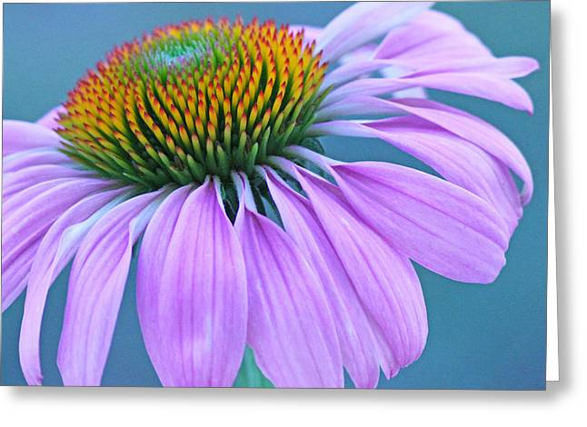 Pink Coneflower Greeting Card by Becky Lodes