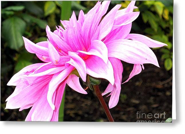 Pink Dahlia Greeting Card by M C Sturman