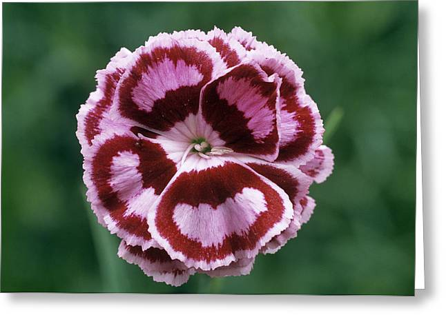 Pink (dianthus 'becky Robinson') Greeting Card by Archie Young